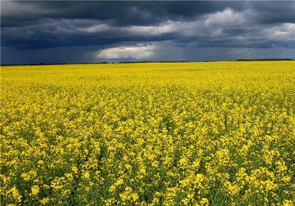 8700 تن دانه کلزا از کشاورزان قزوینی خریداری شد