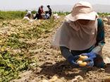 آغاز برداشت سیب زمینی در شهرستان حاجی آباد