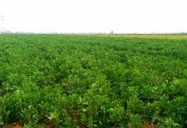 توسعه کشت باقلا در مزارع شهرستان درهشهر