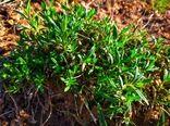 آویشن، از پر مصرف ترین گیاهان دارویی در چهارمحال و بختیاری است