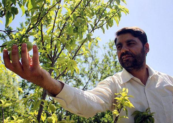رتبه دوم آذربایجان شرقی در تولید گوجه سبز در کشور