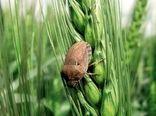 245 هزار هکتار از اراضی کشاورزی کردستان علیه آفت سن مادر سمپاشی شد
