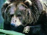 پرداخت خسارت خرسهای سیاه بلوچی و قهوهای به کشاورزان