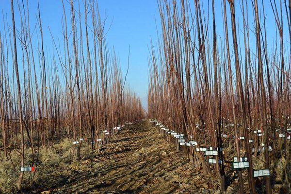 توزیع نهال درختان مثمر در شهرستان لردگان آغاز شد