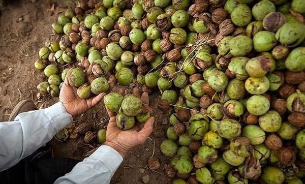 8 هزار تن گردو از باغات استان قزوین برداشت میشود