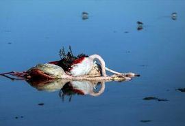 اطلاعیه سازمان دامپزشکی کشور در رابطه با رخداد تلفات پرندگان حیات وحش تالاب میانکاله