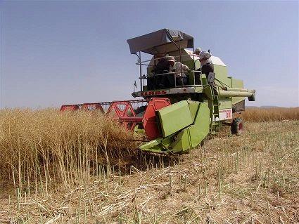 تولید بذر کلزا برای اولین بار در زنجان