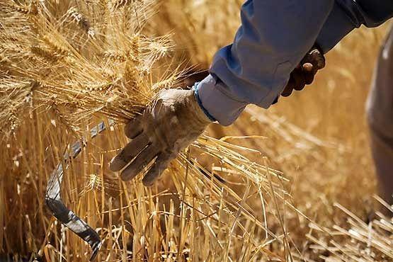 اعلام دیرهنگام قیمت تضمینی گندم برای کشاورز سودی ندارد/دولت نحوه حمایتش را تغییر دهد