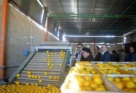 فارس قطب تولید لیمو شیرین کشور است