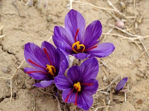 رویش گل زعفران در دهگلان