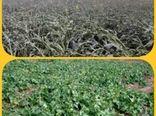 مقابله باخسارت سرمازدگی در محصول کلزا در فصل زمستان
