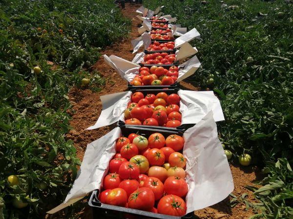تولید بیش از 84 هزار تن گوجه فرنگی در بیضا