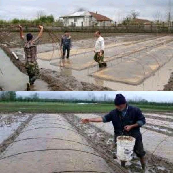 آغاز خزانهگیری برنج گیلان طبق تقویم زراعی