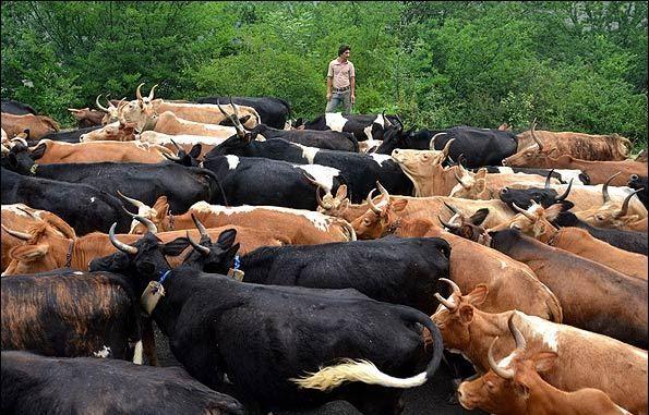 گاوهای بومی اصفهان منقرض شد/ خطر در کمین بز و گوسفند بومی