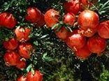 بیش از 65 هزار تن انار در باغات استان سمنان تولید میشود