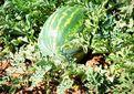 کشت هندوانه مظلوم واقع شده است/ درآمد ۱٫۲ میلیارد دلاری کشور از صادرات سبزی و صیفی