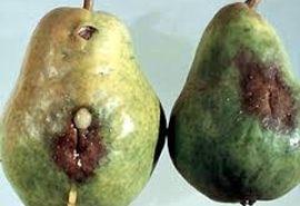 پسیل گلابی باز هم باغداران منطقه گلزار را متضرر کرد