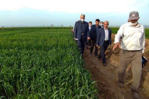 تولید گندم در ایران، امسال از ۱۴ میلیون تن فراتر میرود