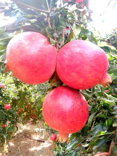 تولید بیش از 90 هزار تن انار در نیریز