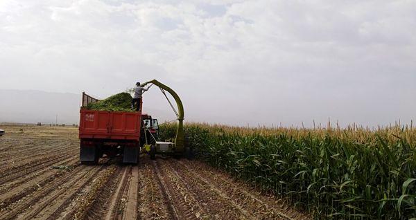 تولید 45 درصد از تولید ذرت دانهای کشور در استان خوزستان