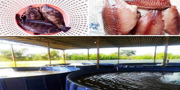 آغاز صید ماهی تیلاپیا در شهرستان بندرعباس