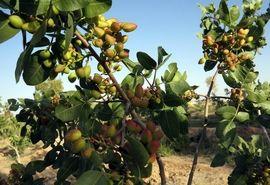 سازگاری با اقلیم لرستان و ضرورت توسعه کشت درخت پسته