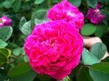 تولید 150 تن گل محمدی در نی ریز