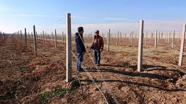 احداث باغ 4 هکتاری انگور « رد گلوب» در منطقه شهرستان آبیک