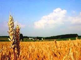 برداشت گندم شهرستان بردسیر از 6082 هکتار مزارع این شهرستان
