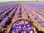 برداشت زعفران از سطح چهار هزار و ۳۰۰ هکتار کشتزار در خراسان شمالی