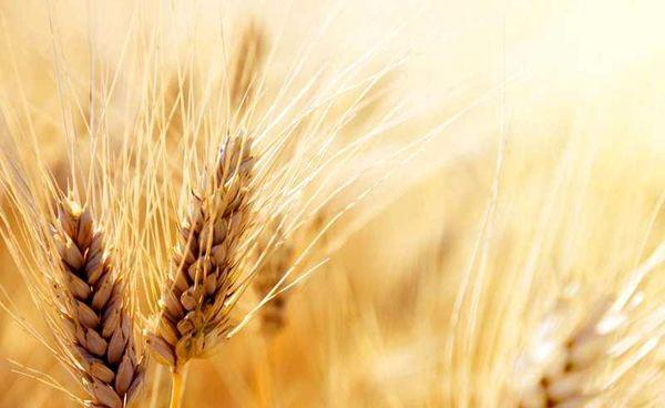 تولید بیش از 7800 تن گندم در سربیشه