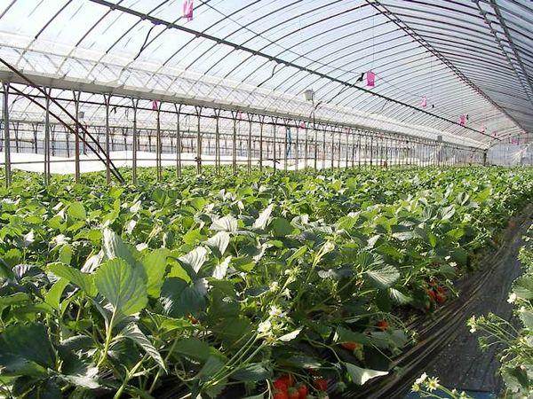 توسعه کشت گلخانهای در اصفهان در اولویت قرار گرفته است
