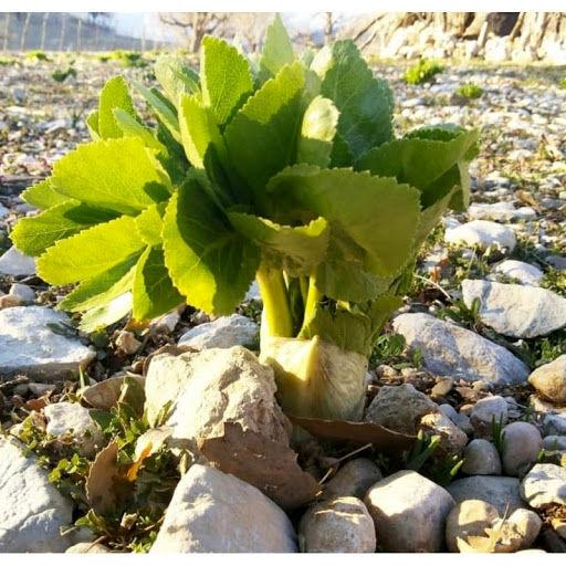 انقراض ریشههای بهاری گیاهان خوراکی