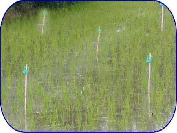 مبارزه بیولوژیک با کرم ساقه خوار برنج در 3000 هکتار از شالیزارهای محمودآباد