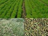 کاشت زیره سبز در 310 هکتار از اراضی کشاورزی استان البرز