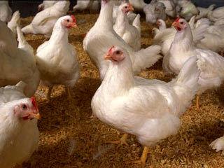 سهم قابل توجه استان گیلان در بازار مرغ تهران