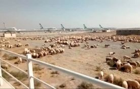 سلامت گوسفندان ترانزیتی تأیید شد