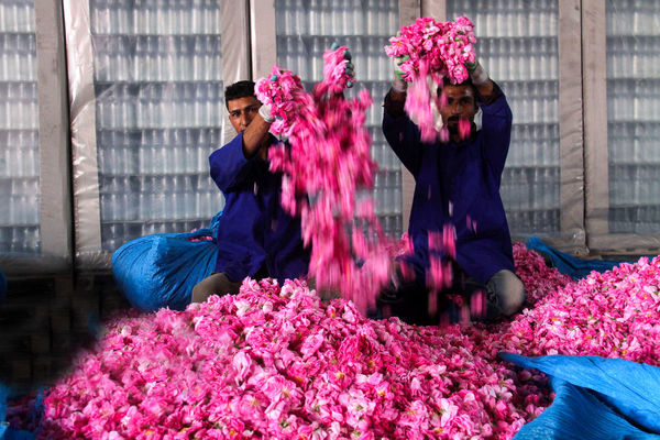 عطر خوش گل محمدی به هندوستان میرود