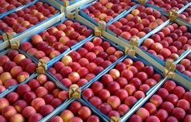 سیب درختی وارد بورس کالا میشود