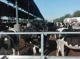 افزایش تولیدات دامی در استان ایلام