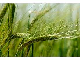 پیش بینی خرید تضمینی 1800 تن گندم و جو از کشاورزان نوشهری
