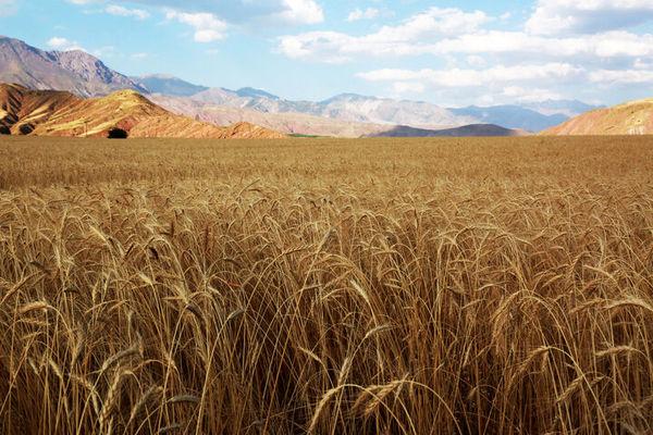 دست دلالان از بازار طلای زرد کردستان قطع شد
