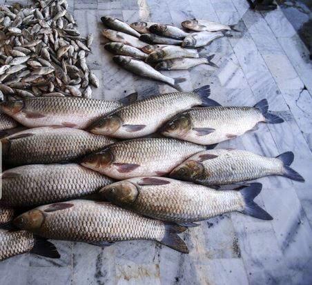قیمت ماهی در شیروان کاهش یافت