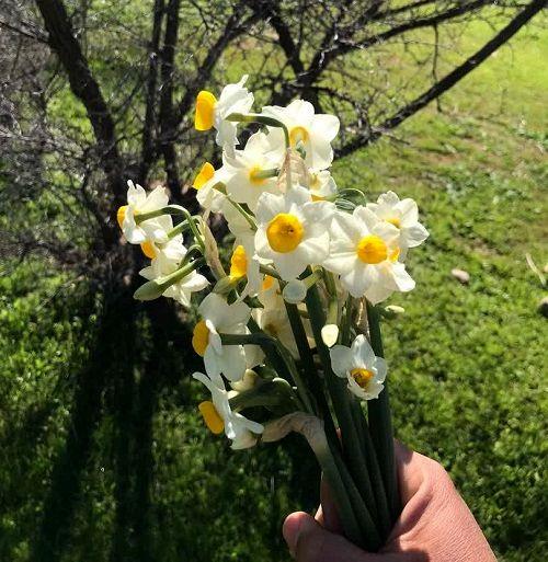 نرگسهای دست کاشت قیروکارزین به گل نشست
