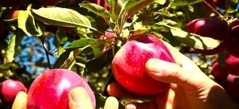 پیش بینی برداشت بیش از ۲۰۰ هزار تن سیب از باغهای شهرستان سمیرم