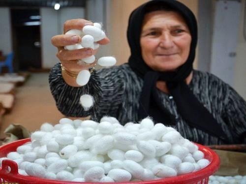 درآمد 6.5 میلیاردی نوغانداران سوادکوهشمالی