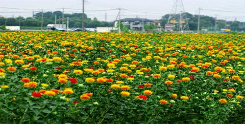 اختصاص 77 هکتاز از اراضی بیلهسوار به کشت دانههای روغنی گلرنگ