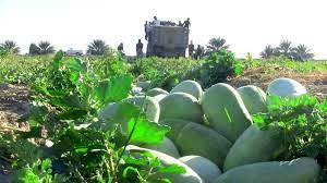 آغاز برداشت هندوانه در شهرستان پارس آباد مغان