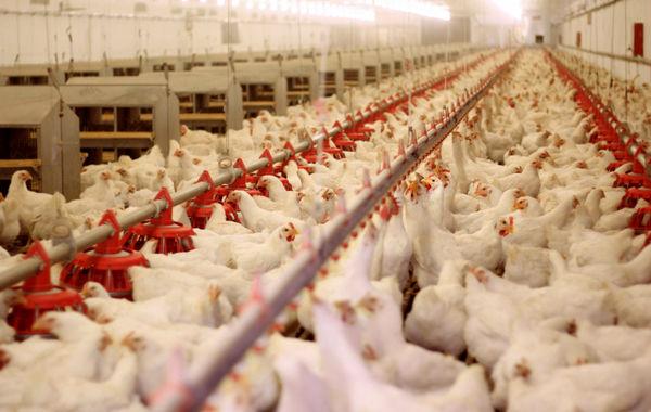 پایداری تولید مرغ در استان قزوین با رشد بیش از ۶ درصدی جوجهریزی در واحدهای پرورش مرغ استان