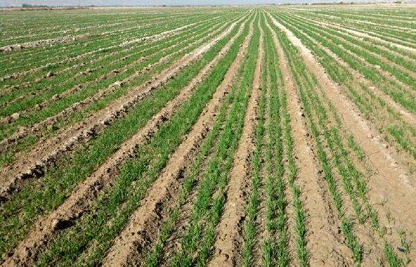 جوندگان مضر مزارع شهرستان در سطح بیش از 400 هکتار کانون کوبی شد